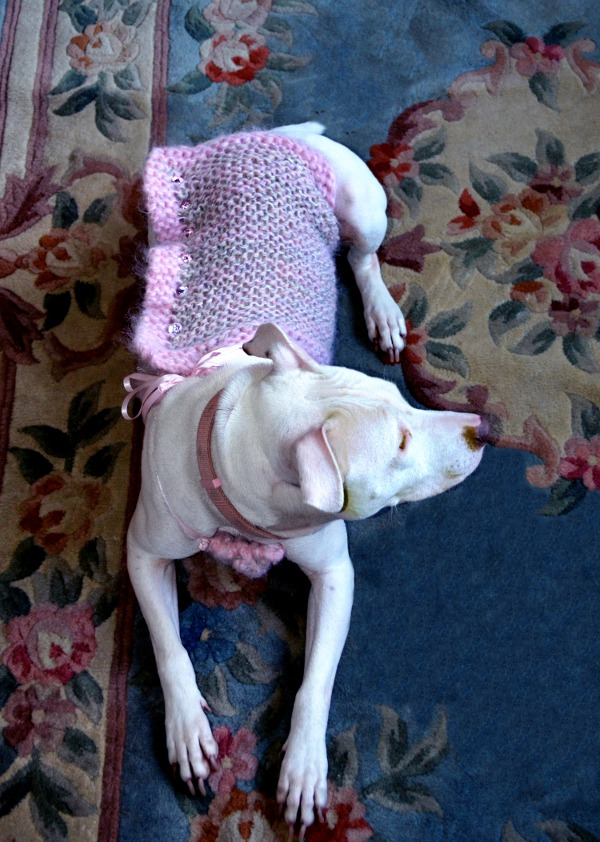 My pampered pooch Hemifer Lopez in her favorite coutuer hand made sweater! Isn't she a grand ol girl?