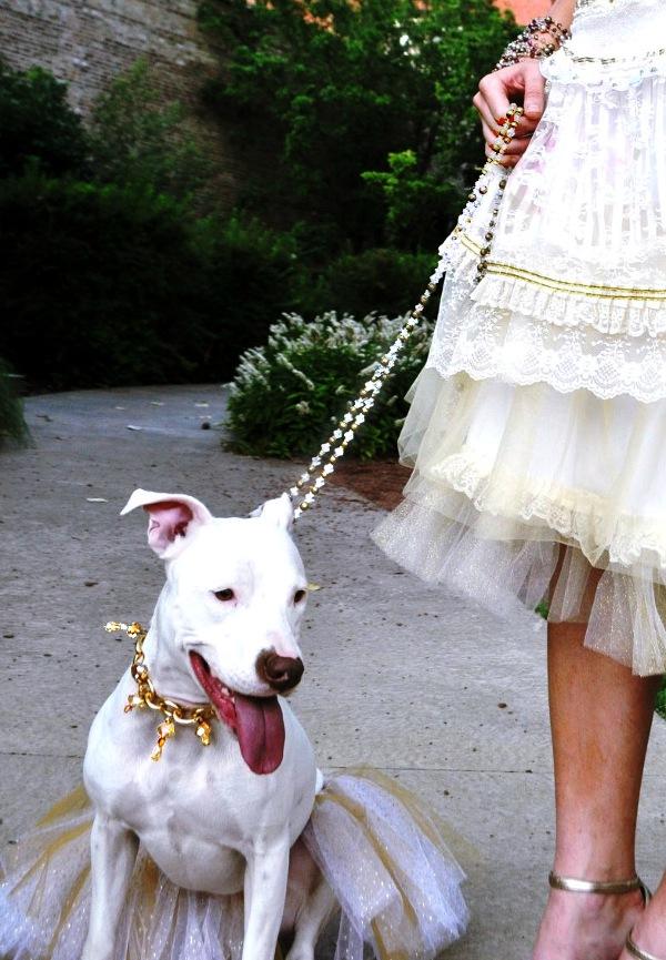 Mi perra Hemi en du tutu couture para combinar con mi falda de primavera 2013! Q chula esta e elegante se ve con su collar y correa de cristales.!